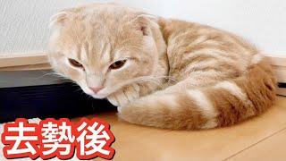 去勢手術で9時間以上絶食した短足猫に異変が起きました。