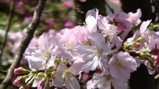 原田悠里 - 桜が咲いた