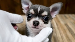 Chihuahua Puppies for Adoption  May 14, 2020
