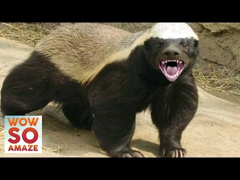 10 Things You Didn't Know About The Honey Badger