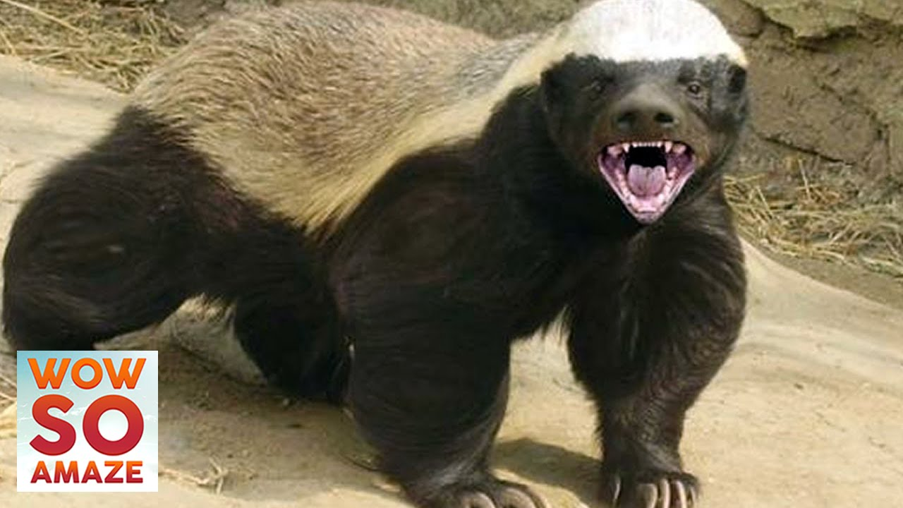 Why the Honey Badger is the toughest animal in the world - Magazine cover