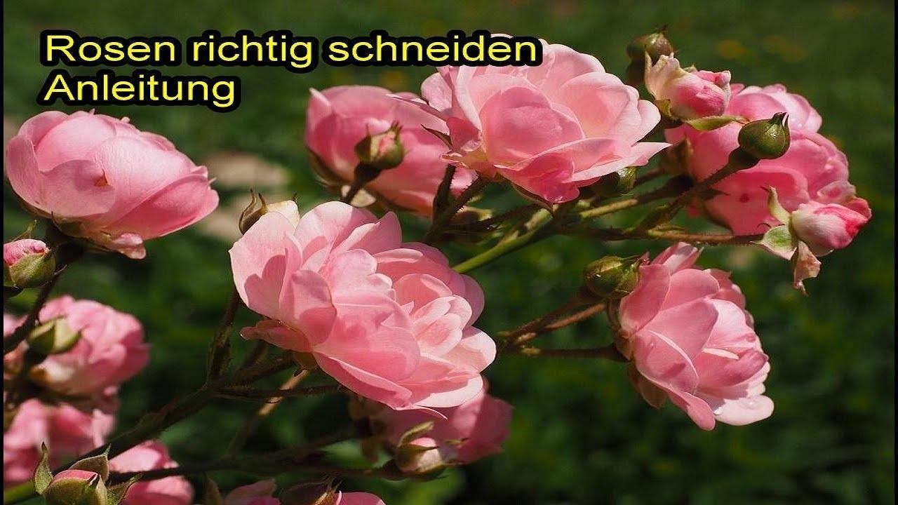 rosen richtig schneiden – beetrosen / gartenrosen zurückschneiden