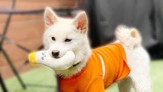 새장난감 사서 기분이 너무 좋은 강아지/ 여우만 데리고 서울나들이 다녀왔어요 / 여우DAY [시바로그] / 시바견 곰이탱이여우 신사동 애견동반