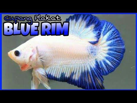 Review Indahnya Cupang Plakat Blue Rim Modernbettafarm Youtube