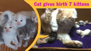 Long haired cat gives birth to 7 cute kittens