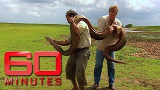 Rare and engangered four metre long anaconda that weighs more than 60 kilos | 60 Minutes Australia