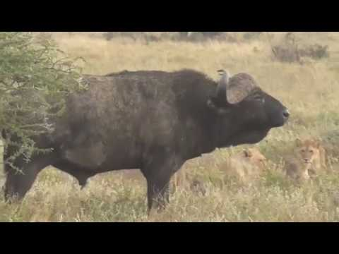 Lions vs Buffalo; Tanzania Safari highlights
