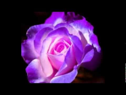 PURPLE ROSES / purple roses and flower fairies - YouTube  One