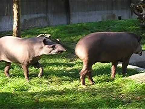 A courting pair of South American tapirs