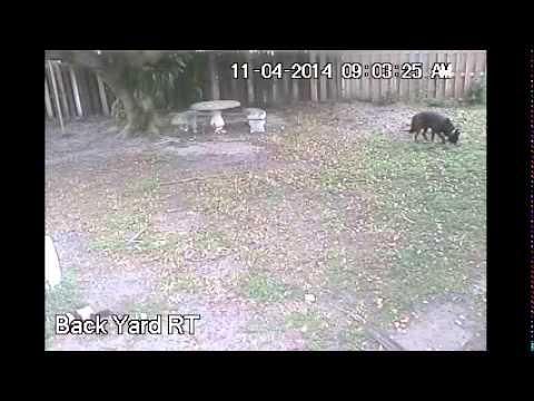 Wolfdog Catches and Kills Wild Squirrel