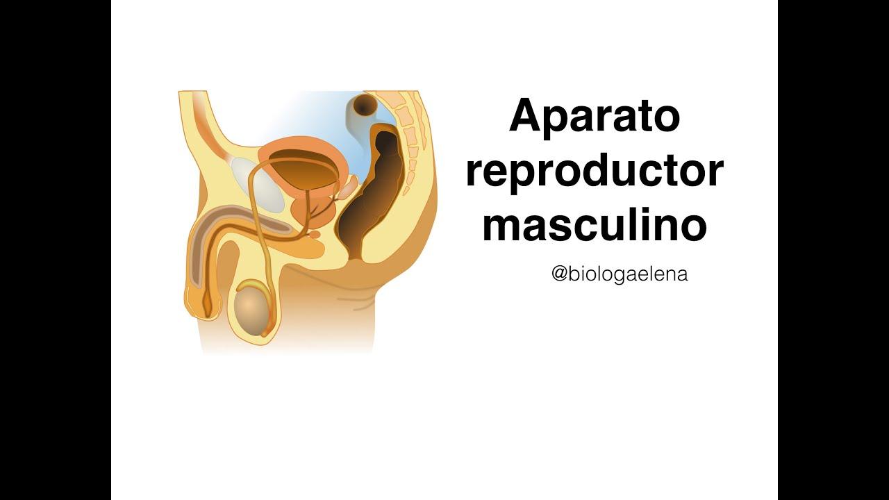 Sistema reproductor masculino - YouTube