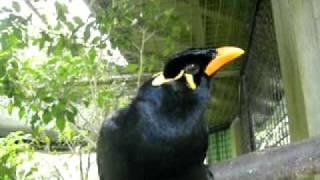Mynah Bird Philippines