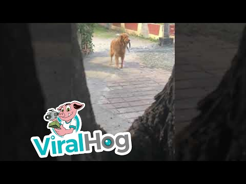 Precious Pooch Desperately Searches for Owner || ViralHog