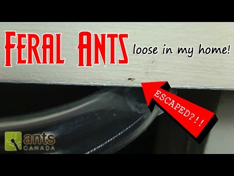 Thumbnail: FERAL ANTS LOOSE IN MY HOME! | How to Get Rid of Pest Ants