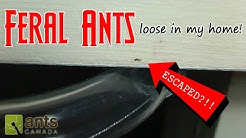 Feral Ants Loose In My Home | How to Get Rid of Pest Ants