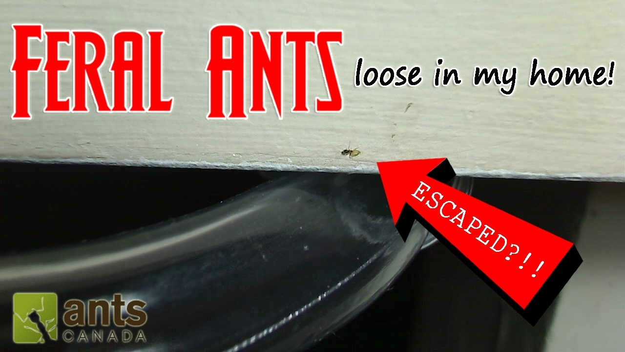 feral-ants-loose-in-my-home-how-to-get-rid-of-pest-ants