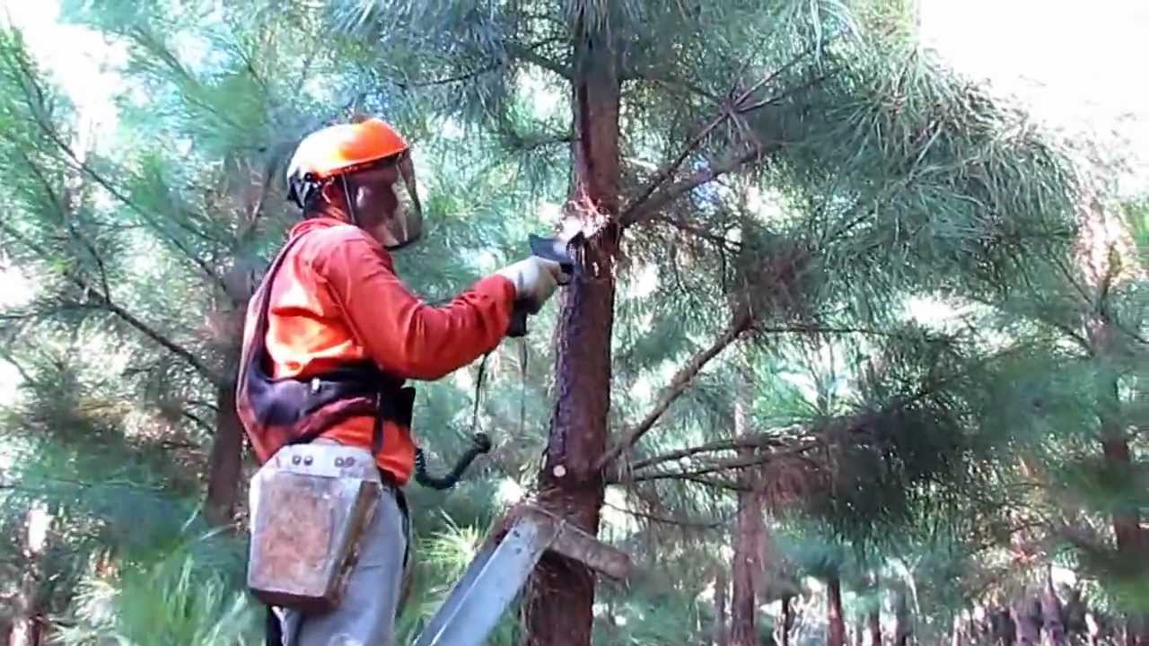 How To Make A Tree Diagram Castle Layout Poda De Pinus Com Tesoura Elétrica F-3010 Infaco E Escada - Youtube