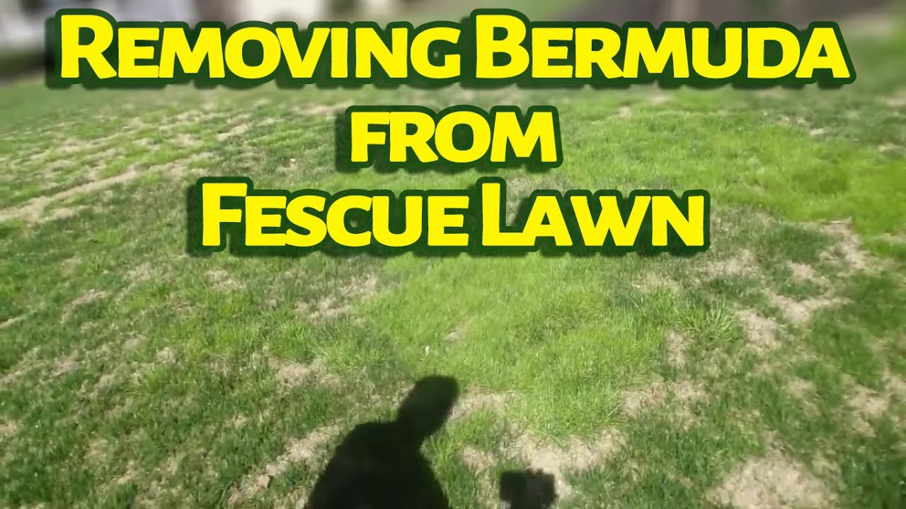 Removing Bermuda From Fescue Lawn Before Documentation Youtube