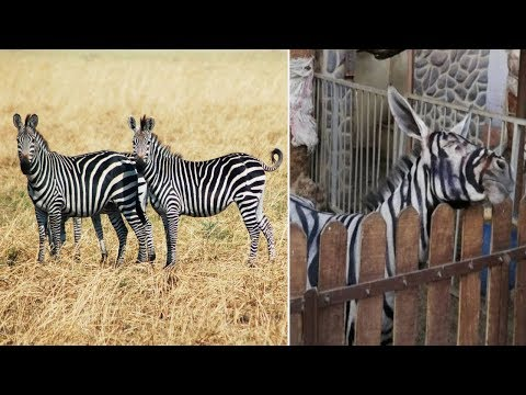 Egyptian zoo caught painting DONKEY black and white stripes to make it look like ZEBRA