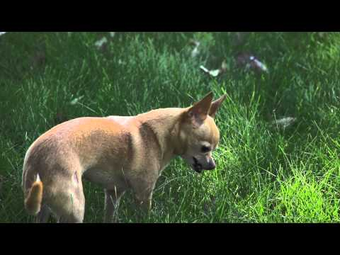 Chihuahua Vomits in Slow Motion