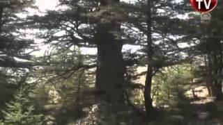 En yaşlı sedir ağaçları