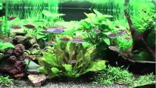 Schönes Süßwasseraquarium HD, Kongosalmler, Feenbuntbarsch usw.