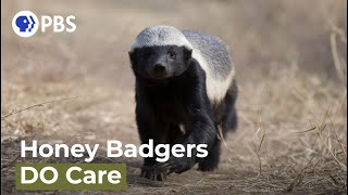 Are Honey Badgers One Of the World's Smartest Animals?
