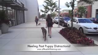 "1-year Old German Shepherd, ""diesel:"" Electronic Collar Training In Virginia, Dc, Md"