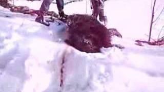 şalcılar köyü domuz avı