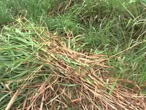 Establecimiento de pasturas para ganado tipo lechero - Tipos de cesped ...