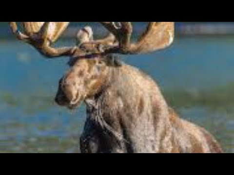 #1 Moose Hunting Mistake, A Tip From The Moose Hunter App