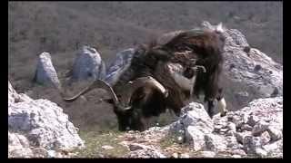 Дикие козы с Ильяс-Кая