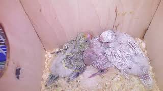 Птенцы волнистых попугаев  (Чехи)