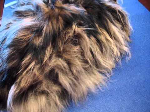 A Matted Maine Coon Cat
