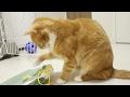 funny cat playing with plastic bag / 【猫 おもしろ】袋で遊ぶ猫ズ、性格の違いが出る