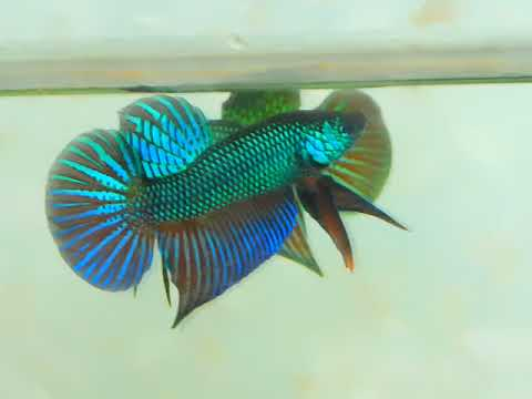 Wow............  On sell now. Original Wild Betta Smaragdina