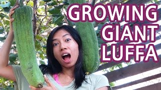 How To Grow Luffa