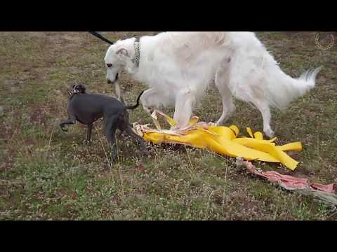 Slow motion coursing training 2017 Supercharty Italian greyhounds & borzoi