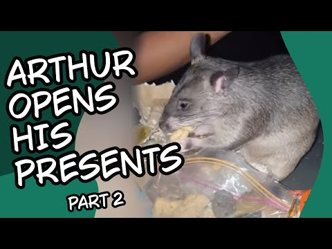 Ever Seen A Pouched Rat Open Their Own Birthday Presents? Gambian Pouched Rat Part 2