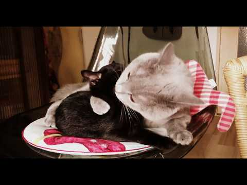 Two Cats groom each other [Chartreux & Bombay]