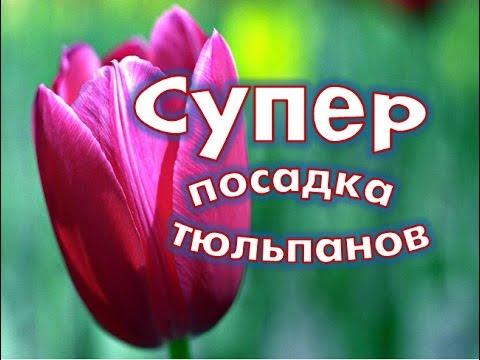 Сажаем тюльпаны в корзины.Супер  посадка тюльпанов.