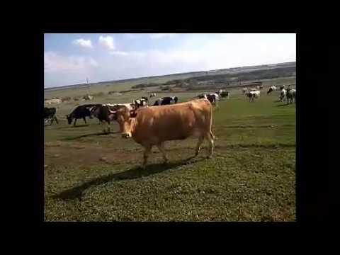 Голландская молочная порода коров Племенной крупно рогатый скот .