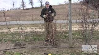 Blueberry Pruning Demonstration