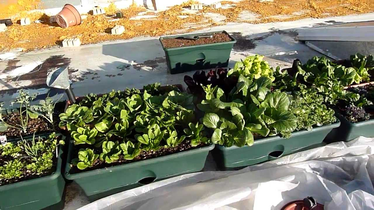 Roof top winter vegetable garden - YouTube