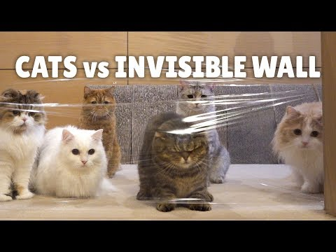 Cats Vs Invisible Wall