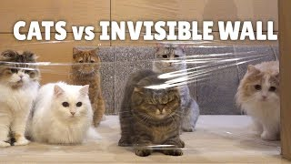 Cats vs Invisible Wall | Kittisaurus