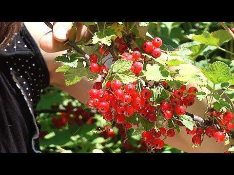 Красная смородина - выращивание, сбор и хранение