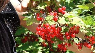Красная смородина - выращивание, сбор и хранение(Собираю красную смородину и попутно рассказываю о том, как ее выращивать, хранить, чем удобрять, как защищат..., 2015-06-19T20:17:48.000Z)
