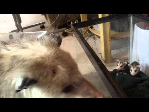 Mother opossum calling to orphaned babies