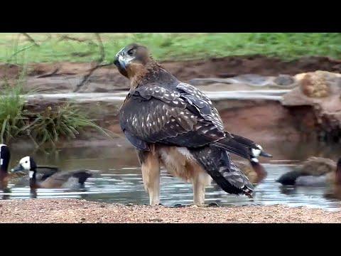 African Hawk Eagle. Naledi Cat-EYE. Explore.org 11 December 2019